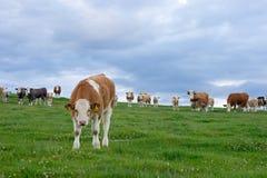 Nieuwsgierige koeien op een gebied Royalty-vrije Stock Afbeelding