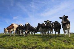 Nieuwsgierige koeien op een groene weide Stock Afbeeldingen