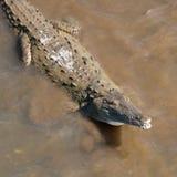 Nieuwsgierige Krokodil Stock Fotografie