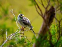 Nieuwsgierige Lawaaierige mijnwerkersvogel royalty-vrije stock afbeelding