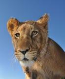 Nieuwsgierige leeuw Stock Afbeeldingen