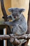 Nieuwsgierige leuke koala die neer eruit ziet Stock Afbeelding
