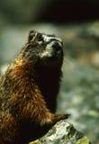 Nieuwsgierige Marmot Stock Foto's