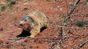Nieuwsgierige marmot die naar camera lopen stock footage