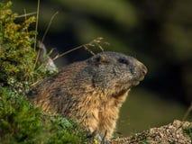 Nieuwsgierige marmot die uit op de Alpen kijken - 3 Royalty-vrije Stock Foto