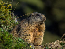 Nieuwsgierige marmot die uit op de Alpen kijken - 4 Stock Foto