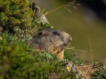 Nieuwsgierige marmot die uit op de Alpen kijken - 5 Royalty-vrije Stock Foto