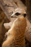Nieuwsgierige meercat op een boomboomstam Royalty-vrije Stock Fotografie