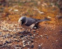 Nieuwsgierige mees die vogelzaad eten stock foto