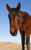 Nieuwsgierige Mustang Royalty-vrije Stock Fotografie
