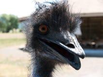 Nieuwsgierige omhoog dichte struisvogel Stock Afbeeldingen