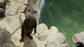 Nieuwsgierige Otter Royalty-vrije Stock Afbeeldingen