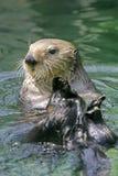 Nieuwsgierige Overzeese Otter Stock Foto
