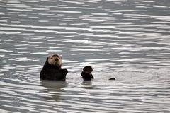 Nieuwsgierige Overzeese Otter Stock Afbeelding