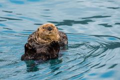 Nieuwsgierige Overzeese Otter whatchig en ontspannend, Alaska stock foto's