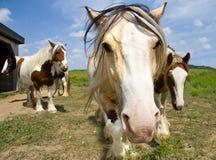 Nieuwsgierige paarden Stock Afbeeldingen