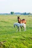 Nieuwsgierige paarden in weiland Stock Fotografie