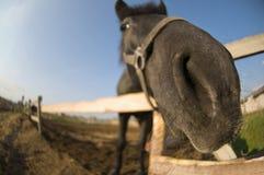 Nieuwsgierige paardneus Stock Afbeelding
