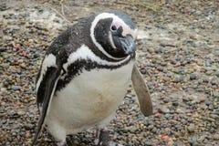 Nieuwsgierige pinguïn Stock Afbeeldingen
