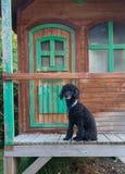 Nieuwsgierige Poedelzitting op een veranda stock fotografie