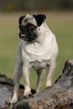 Nieuwsgierige pug Royalty-vrije Stock Foto's
