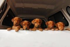 Nieuwsgierige puppy Royalty-vrije Stock Foto's