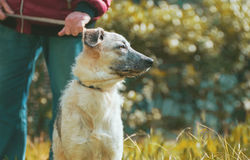 Nieuwsgierige puppy zwart-witte helft-bloed hondzitting dichtbij de man Royalty-vrije Stock Foto