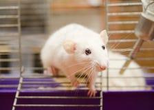 Nieuwsgierige rat Royalty-vrije Stock Fotografie