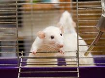 Nieuwsgierige rat Stock Foto's