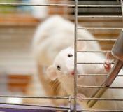 Nieuwsgierige rat Royalty-vrije Stock Foto's