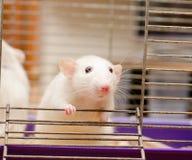 Nieuwsgierige rat Stock Afbeeldingen