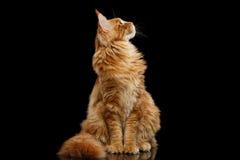 Nieuwsgierige Rode die Maine Coon Cat Looking omhoog op Zwarte wordt geïsoleerd Stock Afbeeldingen
