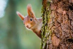 Nieuwsgierige rode eekhoorn die achter de boomboomstam gluren Stock Afbeeldingen