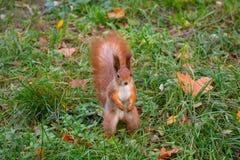 Nieuwsgierige rode eekhoorn op het gras in het park royalty-vrije stock foto's