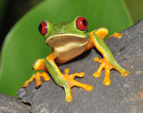 Nieuwsgierige rode eyed groene boomkikker, Costa Rica Royalty-vrije Stock Foto