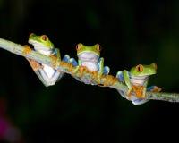 Nieuwsgierige rode eyed groene boomkikkers, Costa Rica Stock Afbeeldingen