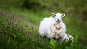 Nieuwsgierige schapen Royalty-vrije Stock Fotografie