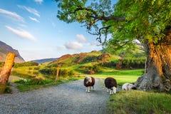 Nieuwsgierige sheeps op weiland in de zomer, Meerdistrict, Engeland Stock Fotografie