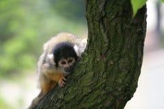 Nieuwsgierige squirrelmonkey Royalty-vrije Stock Foto's