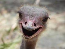 Nieuwsgierige Struisvogel Royalty-vrije Stock Afbeelding