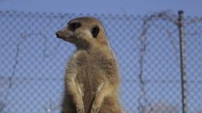Nieuwsgierige suricatta van meerkatsuricata stock video
