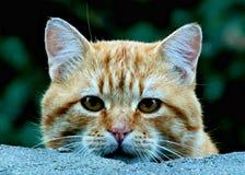 Nieuwsgierige Tabby Cat bekijkt voorzichtig over muur de camera stock fotografie