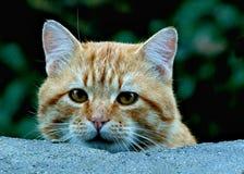 Nieuwsgierige Tabby Cat bekijkt voorzichtig over muur de camera royalty-vrije stock afbeelding