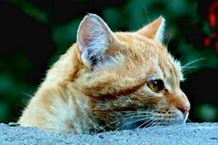 Nieuwsgierige Tabby Cat kijkt voorzichtig net over muur stock afbeeldingen