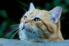 Nieuwsgierige Tabby Cat kijkt voorzichtig omhoog over muur royalty-vrije stock fotografie