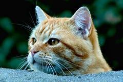 Nieuwsgierige Tabby Cat voorzichtig kijkt linker over muur royalty-vrije stock afbeeldingen