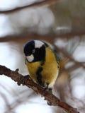 Nieuwsgierige Vogel Stock Afbeelding