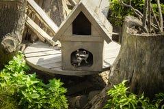 Nieuwsgierige wasbeer die de wereld onderzoeken stock fotografie