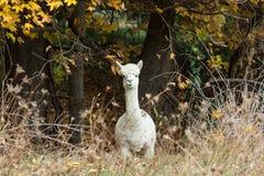 Nieuwsgierige Witte Alpaca die zich op Gebied tijdens Dalingsgebladerte bevinden Stock Fotografie