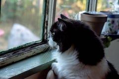 Nieuwsgierige Zwart-witte Cat Finds Something Interesting royalty-vrije stock afbeeldingen